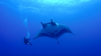 Diving with a Giant Pacific Manta Ray off of Socorro Island. These peaceful giants are some of the most majestic & beautiful creatures I've ever had the pleasure of diving with. I could list all sorts of facts about their complex & important role in marine ecosystems, but there is nothing more powerful than the way they approach divers & stare directly into your eyes. All living things have a soul.
