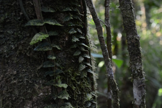 An epiphyte climbs up the trunk of a generous tree.