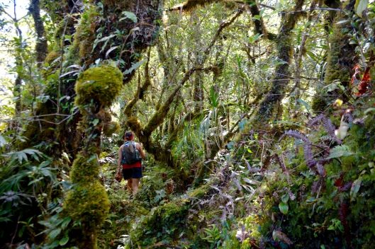 Disappearing into the Cloud Forest. The trees become shorter, moss and epiphytes coat the trees, and soft moss covers the ground.
