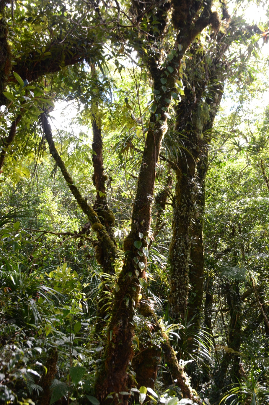 The beginnings of the cloud forest. Epiphytes climb the stunted trees, and sunlight pours through the canopy.