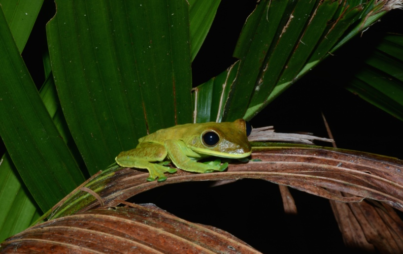 A tree frog searching for prey in the darkness